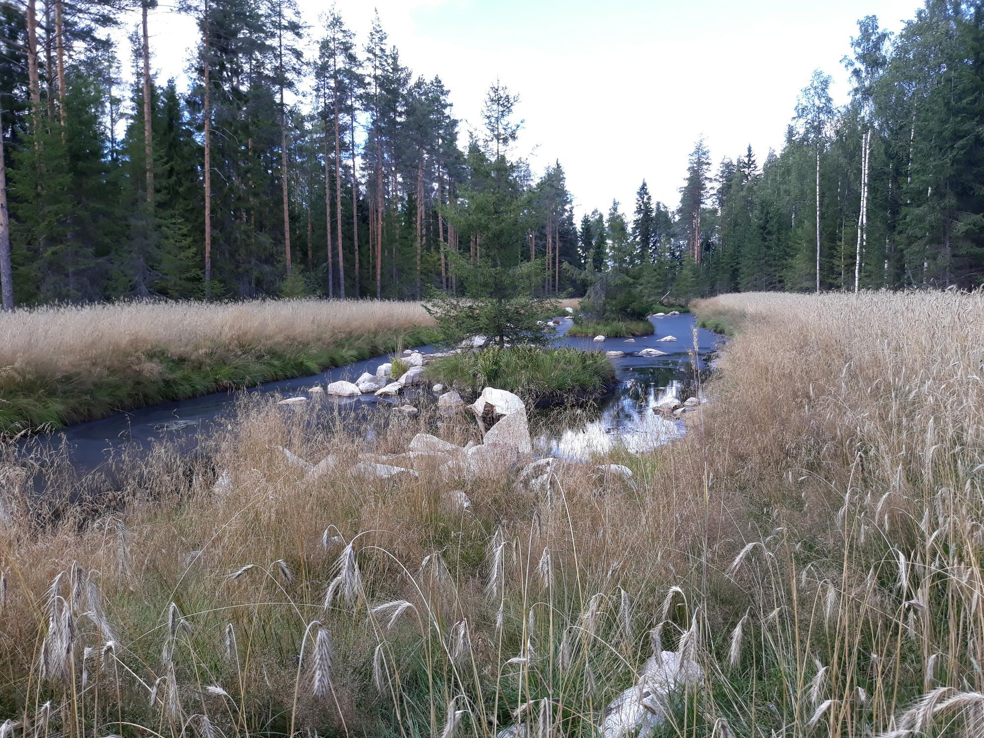 Kosteikkoalue, etualalla heinää ja avoveden keskellä kiviä ja kuusia.
